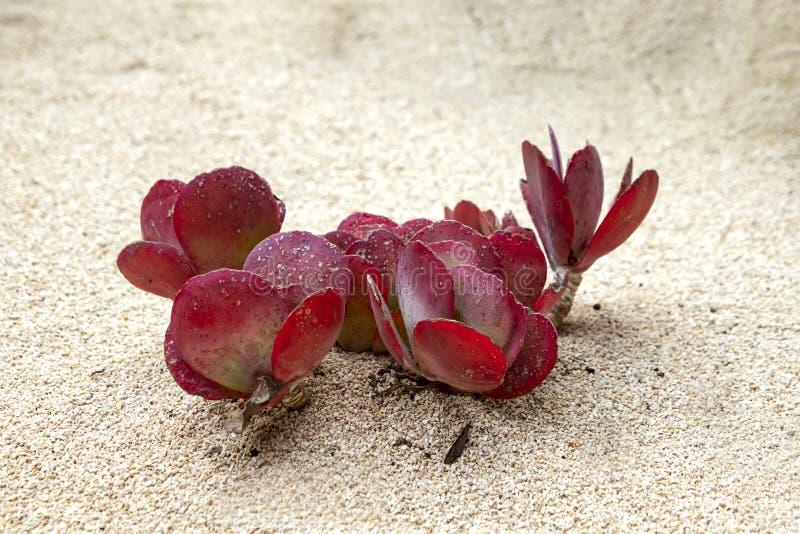 与生长在白色沙子特写镜头的桃红色叶子的多汁植物 免版税库存照片