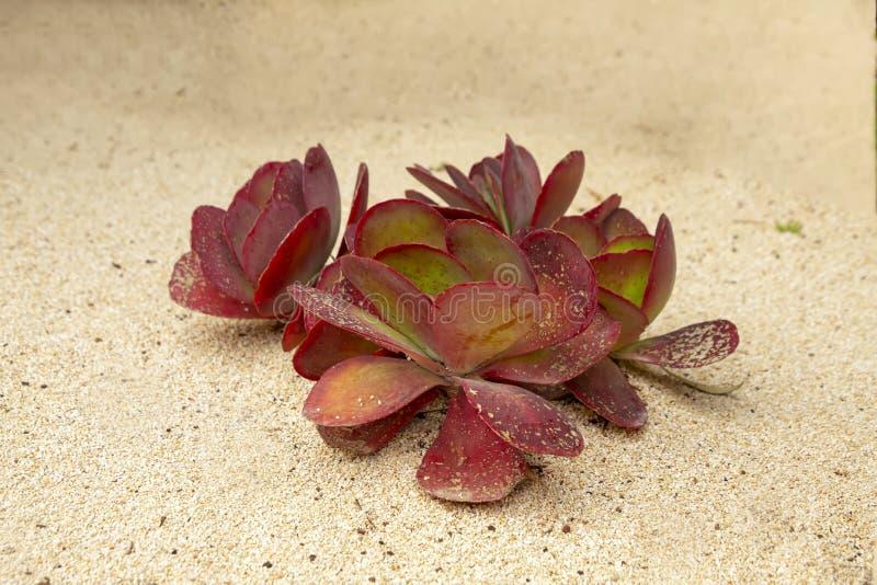 与生长在白色沙子特写镜头的桃红色叶子的多汁植物 库存照片