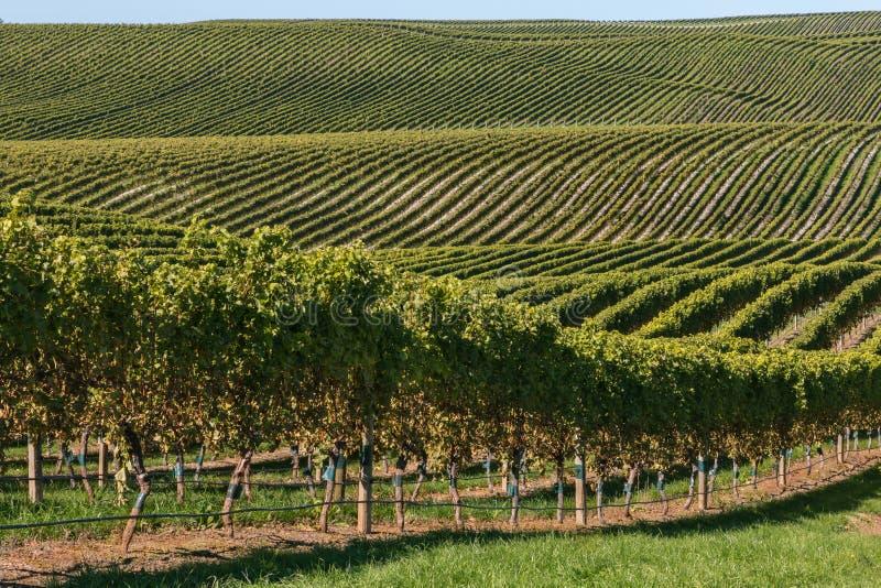 与生长在绵延山的葡萄树行的葡萄园风景 图库摄影