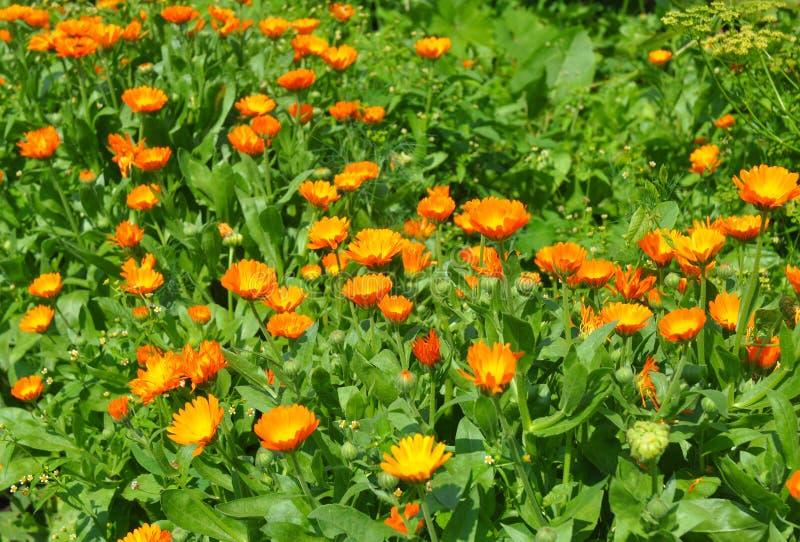 与生长花金盏草的夏天背景 库存照片