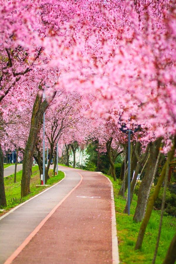与用分支盖的公园胡同的美好的风景用桃红色花在蒂米什瓦拉填装了春天 库存图片