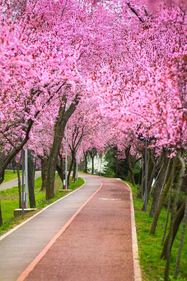 与用分支盖的公园胡同的美好的风景用桃红色花在蒂米什瓦拉填装了春天 库存照片