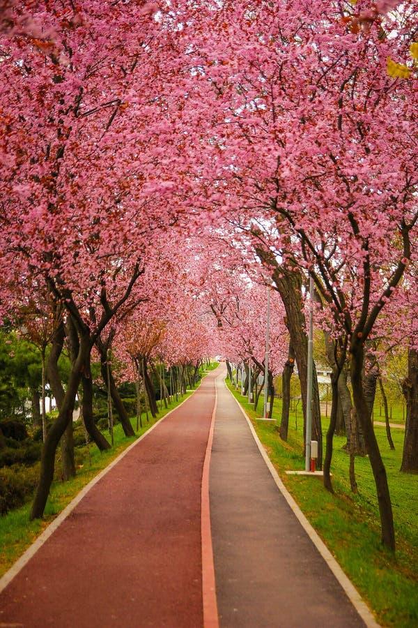 与用分支盖的公园胡同的美好的风景用桃红色花在蒂米什瓦拉填装了春天 图库摄影