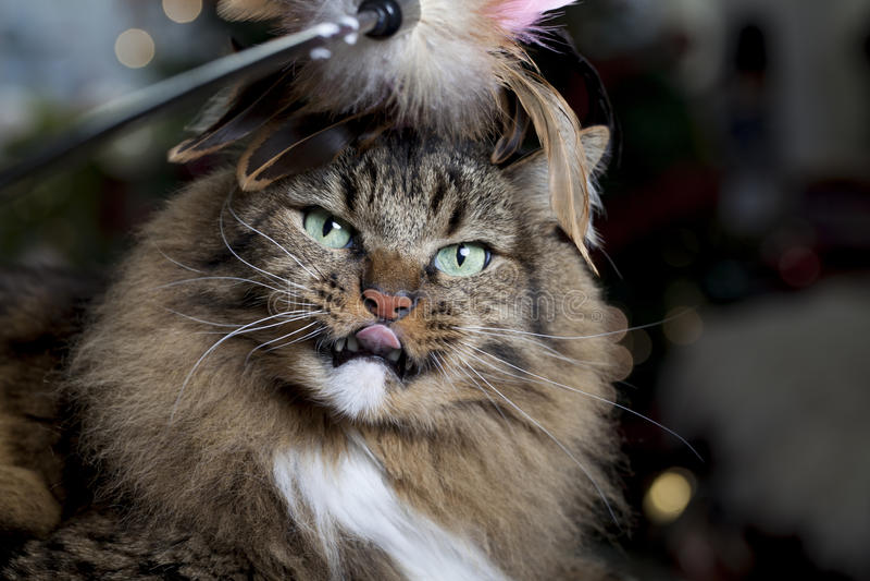 与用羽毛装饰的玩具的猫 免版税图库摄影