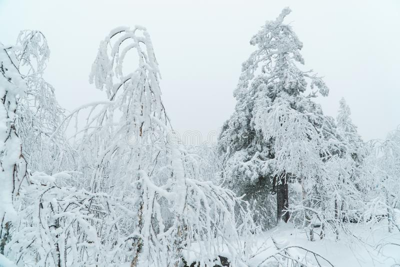 与用雪盖的树的美好的白色冬天森林风景,童话当中 库存图片