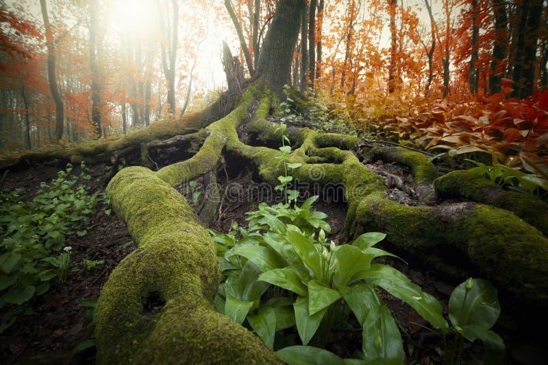 与用绿色青苔和植物报道的巨大的根的树在一个美丽的森林里在秋天 免版税图库摄影