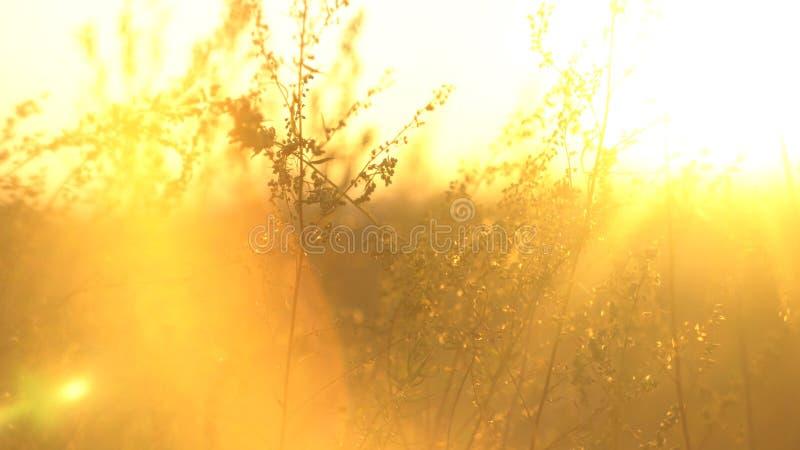 与由后面照的野草在金黄太阳光 与干燥干草原草的风景 干草原草在阳光下 免版税库存照片