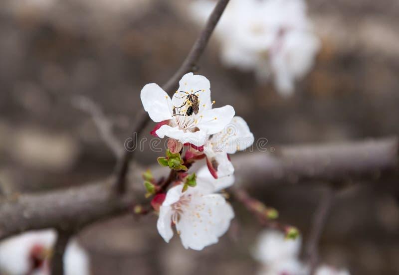 与甲虫的开花的杏子 库存图片