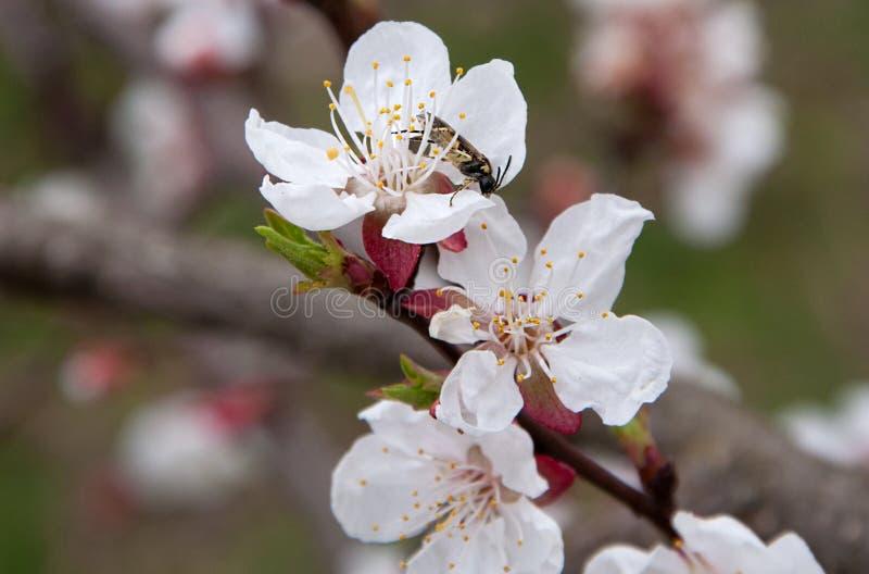 与甲虫的开花的杏子 免版税库存图片
