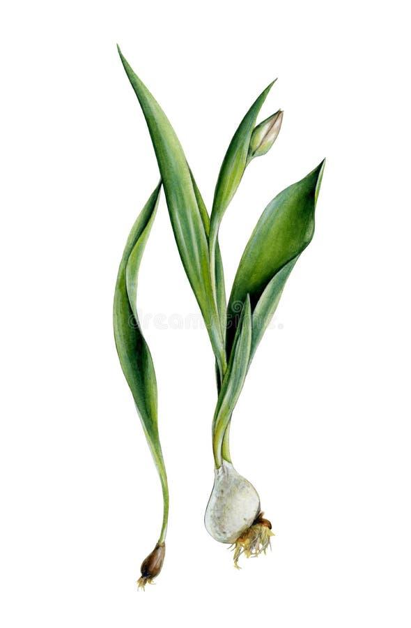 与电灯泡、叶子和芽的郁金香 向量例证