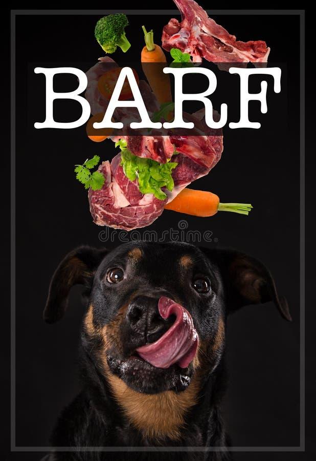 与疲乏的舌头的Rottweiler barf膳食的概念 免版税库存图片