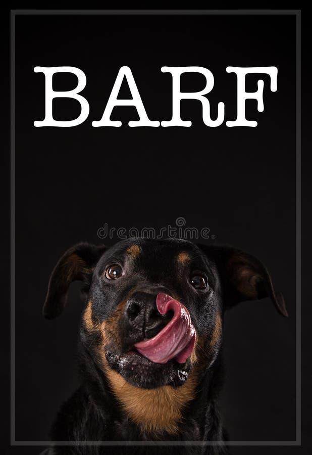与疲乏的舌头的Rottweiler barf膳食的概念 免版税库存照片