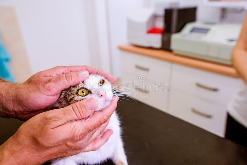 与疼痛眼睛的兽医审查的猫在兽医诊所 免版税库存照片