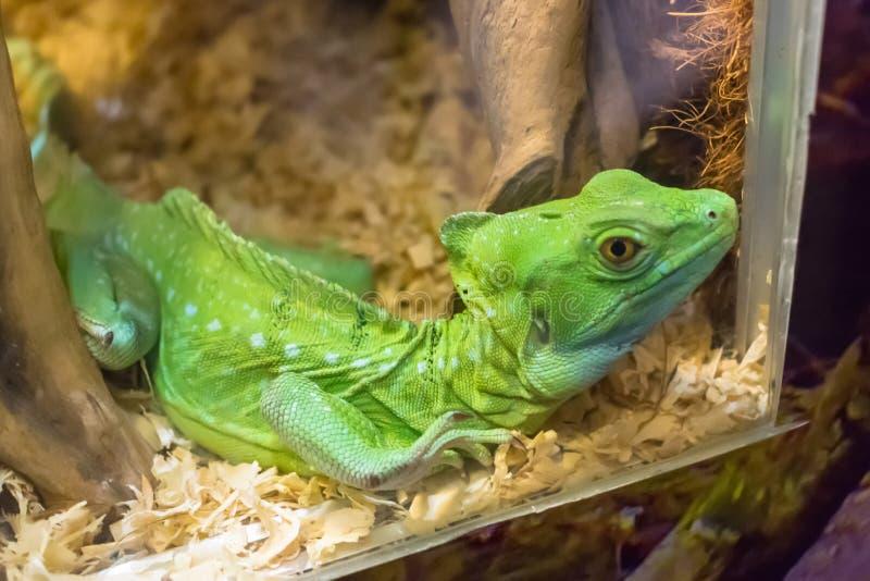 与瘪的皮肤的绿蜥蜴在锯木屑的一个水族馆 库存图片