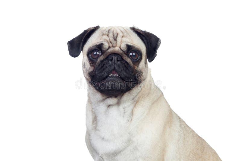 与白发的好的哈巴狗狗 库存图片