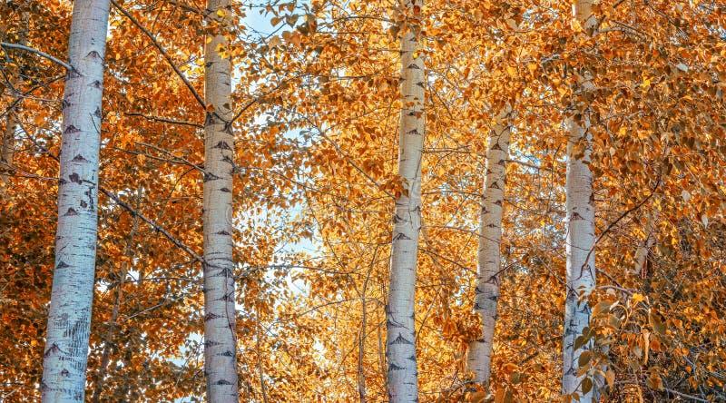 与白杨木树的一个美好的秋天场面转动橙色在wo 免版税库存照片