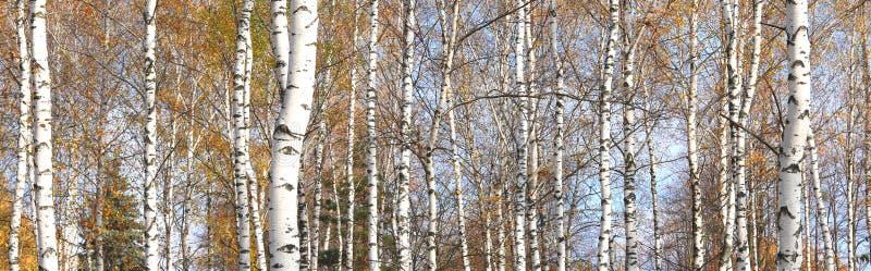 与白桦吠声的桦树在有绿色桦树的桦树树丛在夏天离开 免版税库存图片