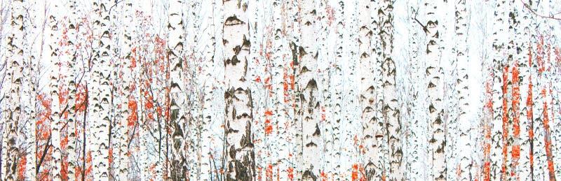 与白桦吠声的桦树在有绿色桦树的桦树树丛在夏天离开 免版税库存照片