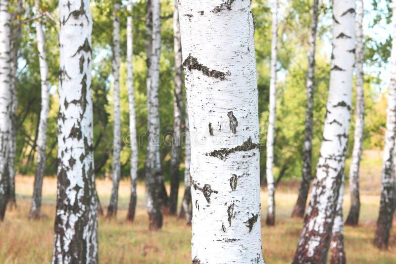 与白桦吠声的美丽的桦树在有绿色桦树的桦树树丛离开 库存照片