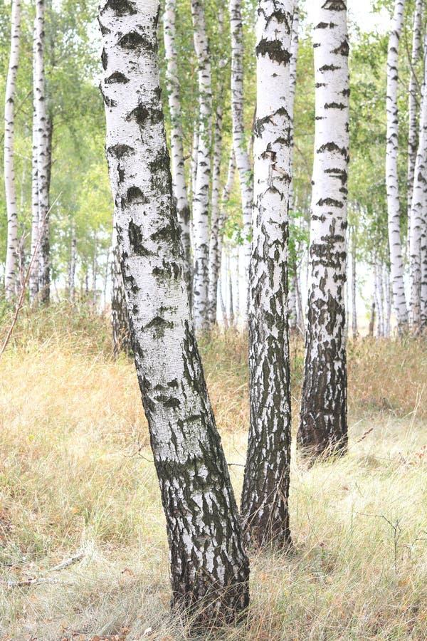与白桦吠声的美丽的桦树在有绿色桦树的桦树树丛离开 库存图片
