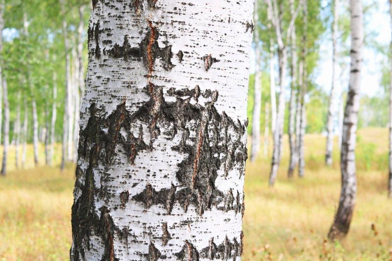 与白桦吠声的美丽的桦树在有绿色桦树的桦树树丛离开 免版税图库摄影