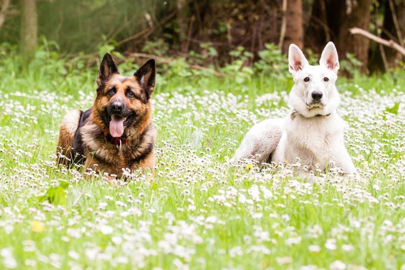 与白瑞士牧羊人的德国牧羊犬狗 免版税库存图片
