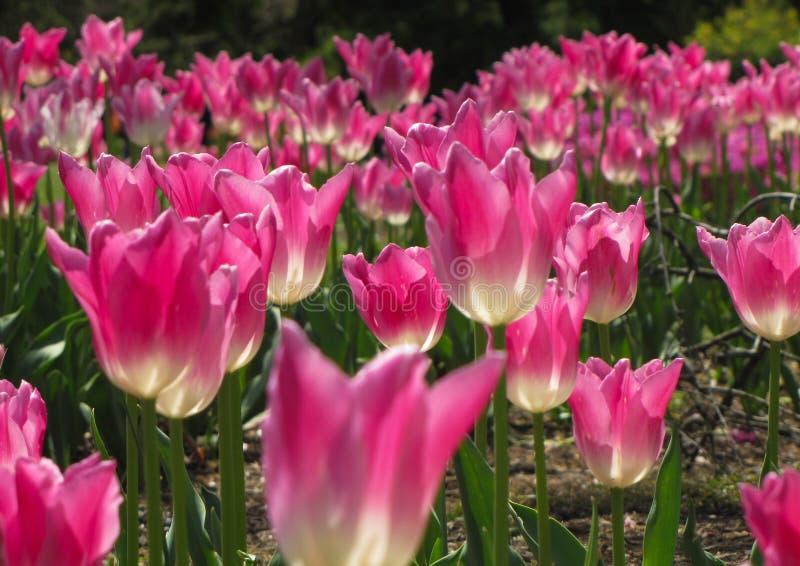 与白色下腹部的桃红色郁金香 图库摄影