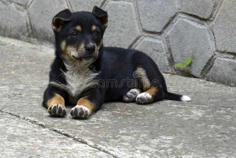 与白色乳房和棕色爪子的一只小黑小狗坐地板 库存照片