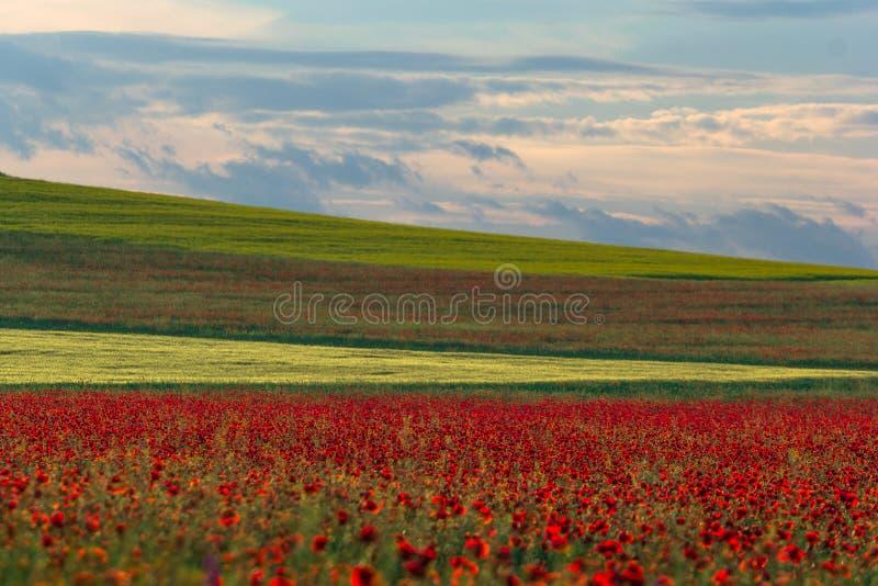 与白色云彩的美丽的天空在与鸦片的一个绿色夏天领域 免版税库存图片