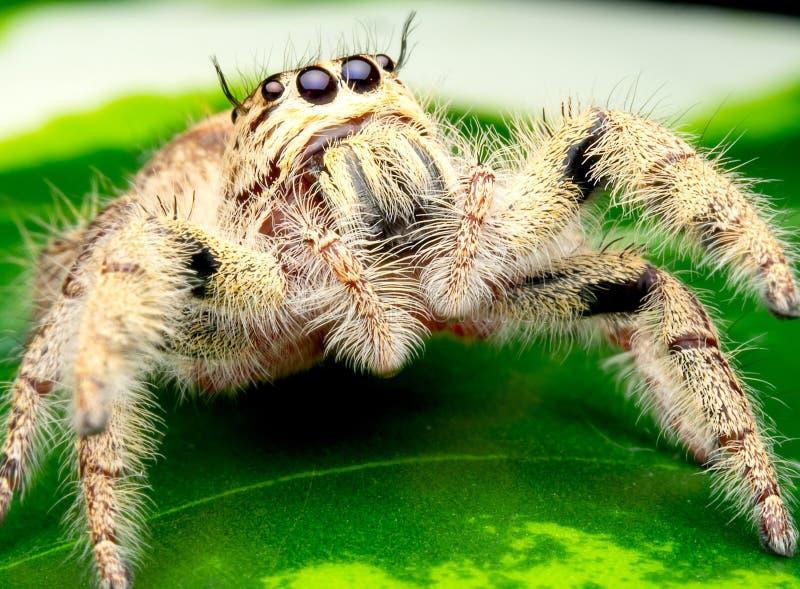 与白色和奶油色颜色的狂放的女性跳的蜘蛛看起来高视觉和逗留在绿色叶子 免版税库存图片