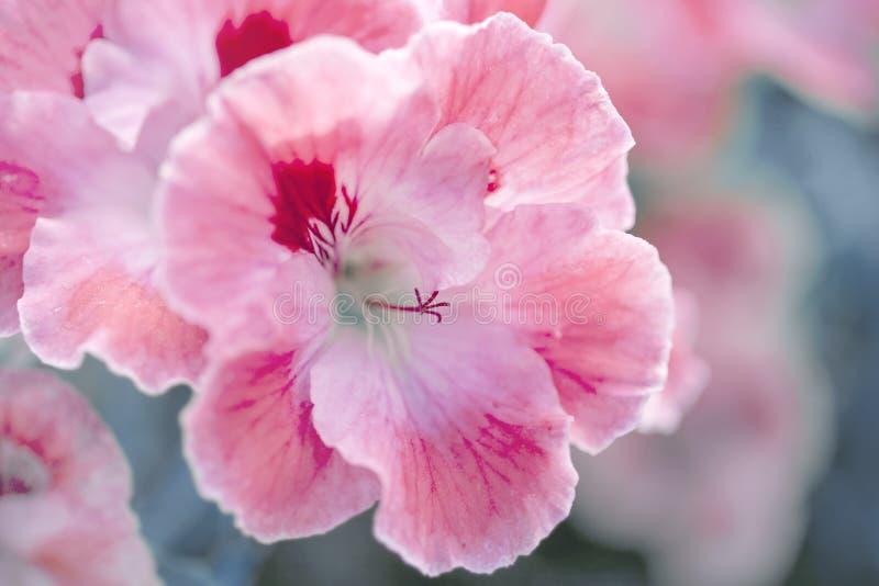 与白色和桃红色大竺葵的自然花卉背景 免版税库存图片