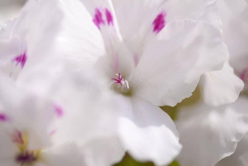 与白色和桃红色大竺葵的花卉背景 图库摄影