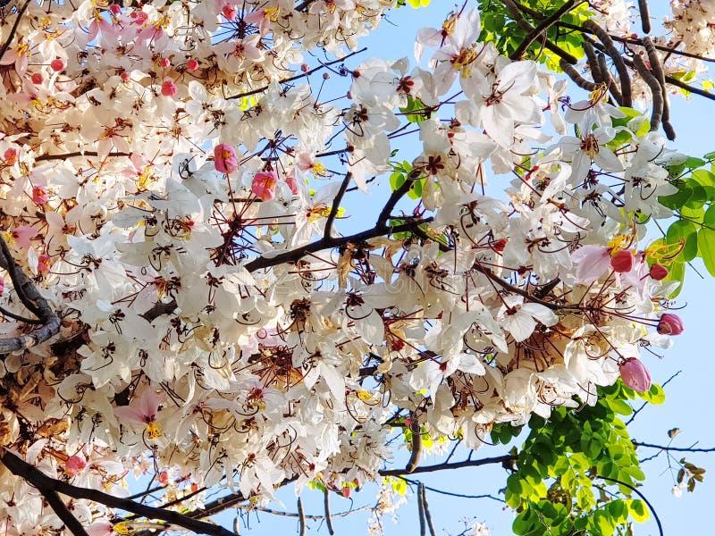与白色和桃红色花的树反对蓝天 免版税库存照片