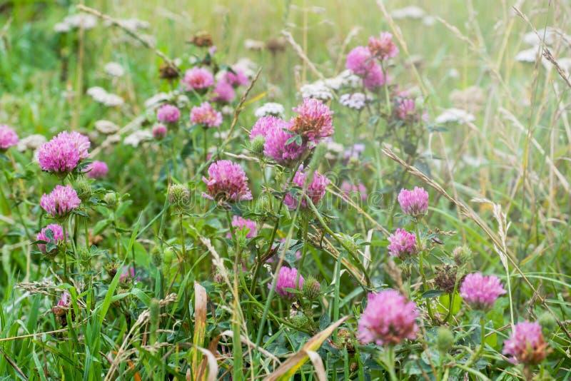 与白色和淡紫色三叶草开花的花的领域  库存照片