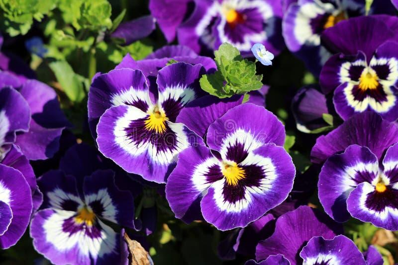 与白色和黄色中心三色堇或中提琴三色小野花的黑暗的紫色与明亮的瓣密集地种植了  库存图片
