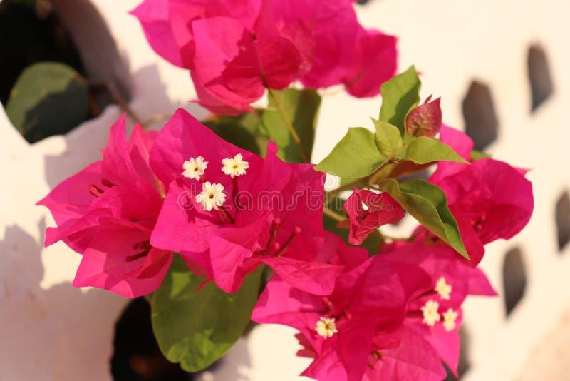 与白色墙壁的桃红色花 库存照片
