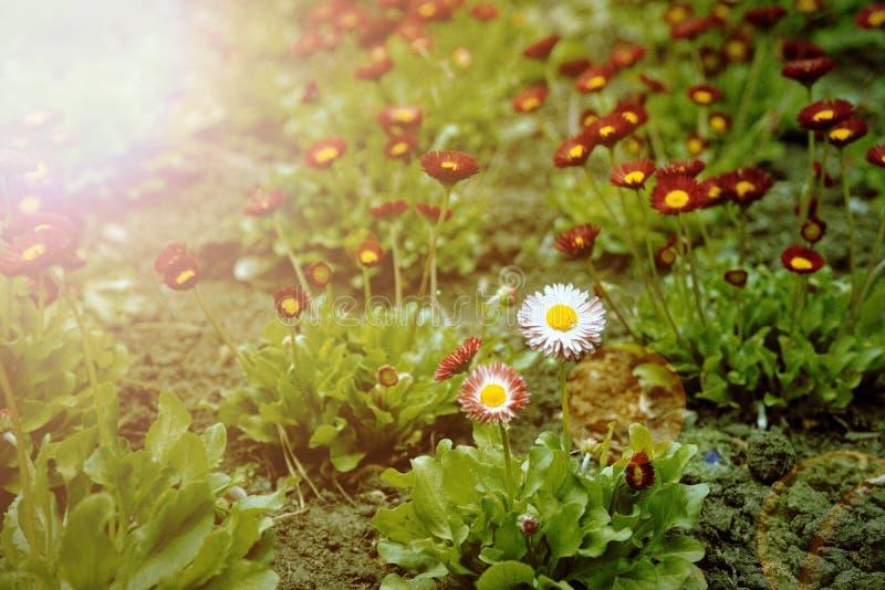 与白色头的葡萄酒小的红色花在中心,美好的自然,定调子设计春天自然,太阳花圃植物 免版税图库摄影