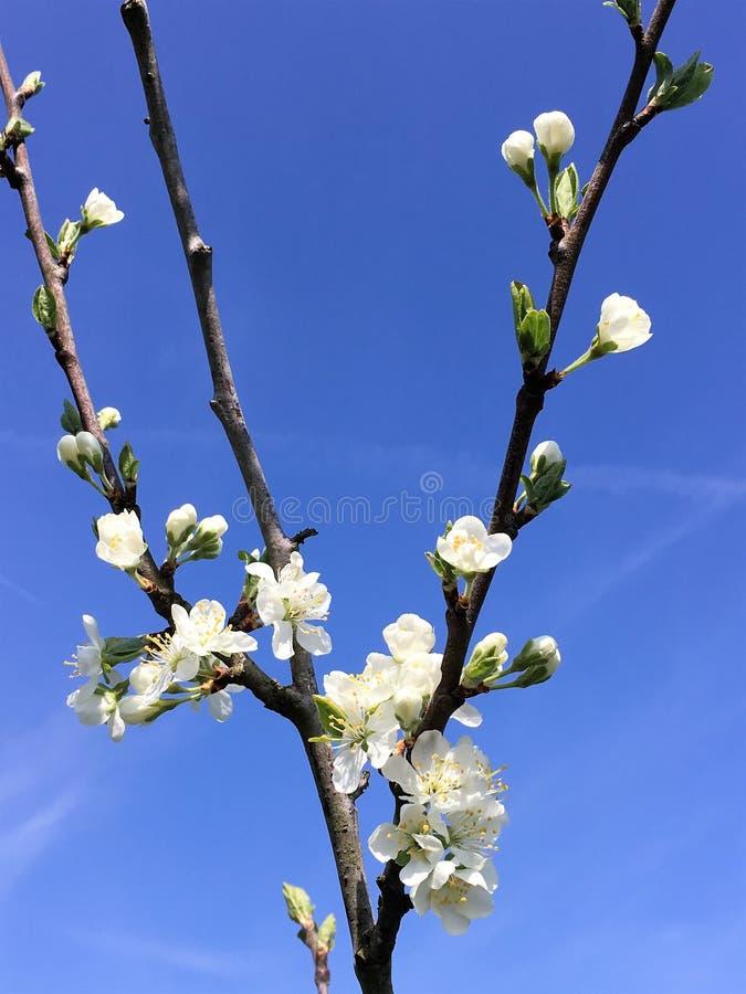 与白色开花的洋李在天空蔚蓝背景 图库摄影