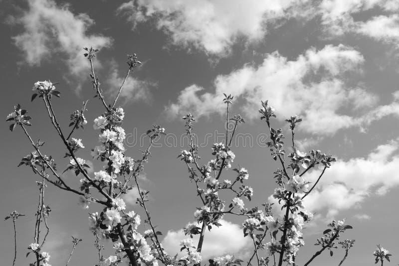 与白色开花花的苹果树分支向天空到达 免版税库存图片