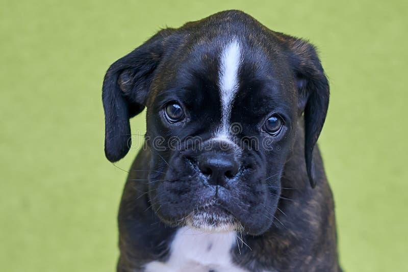 与白色斑点的小严肃的黑色在鼻子桥梁在绿色背景的拳击手小狗 库存照片