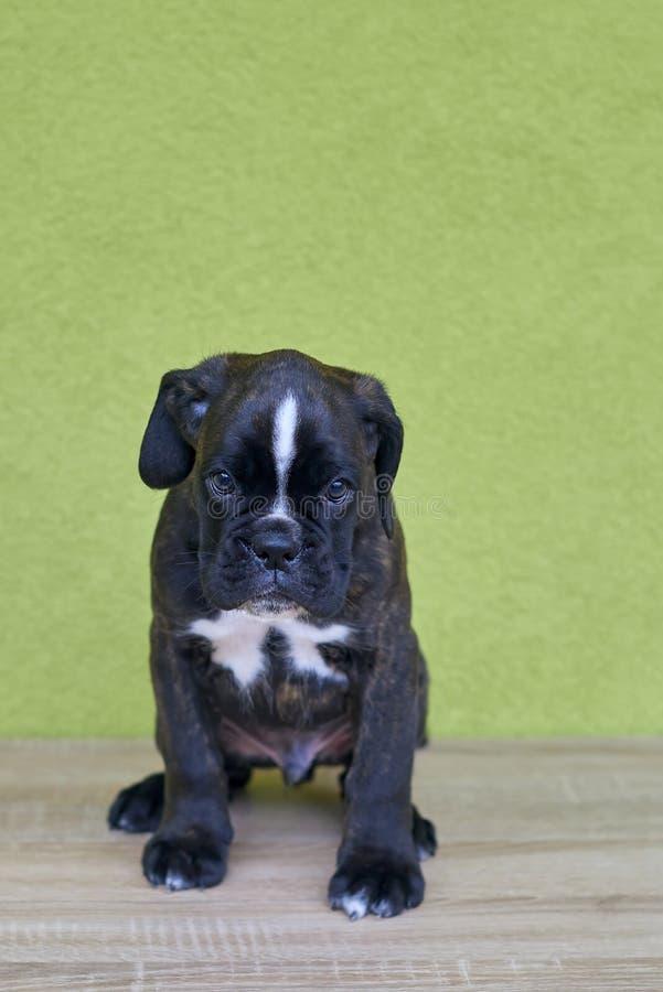 与白色斑点的小严肃的黑色在鼻子桥梁在绿色背景的拳击手小狗 免版税库存图片