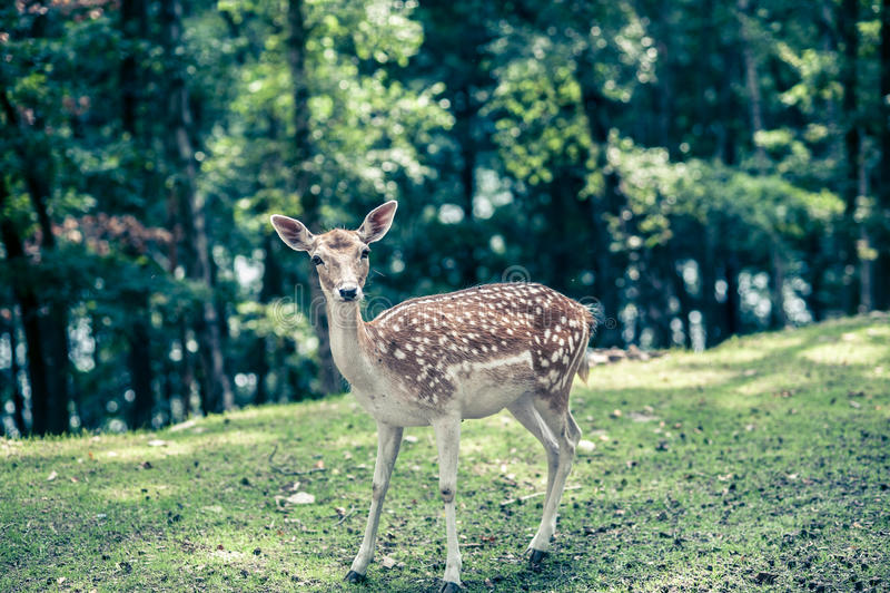 与白色斑点的鹿在绿色森林里 免版税图库摄影