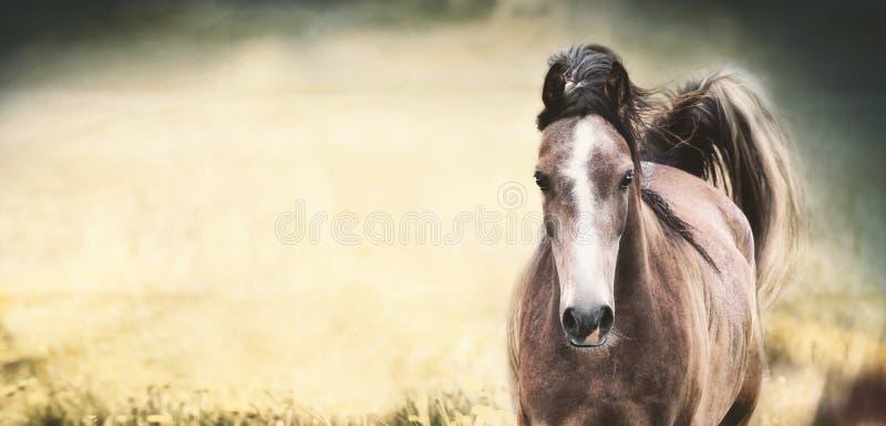 与白色条纹的布朗马在自然背景,横幅的面孔 库存图片