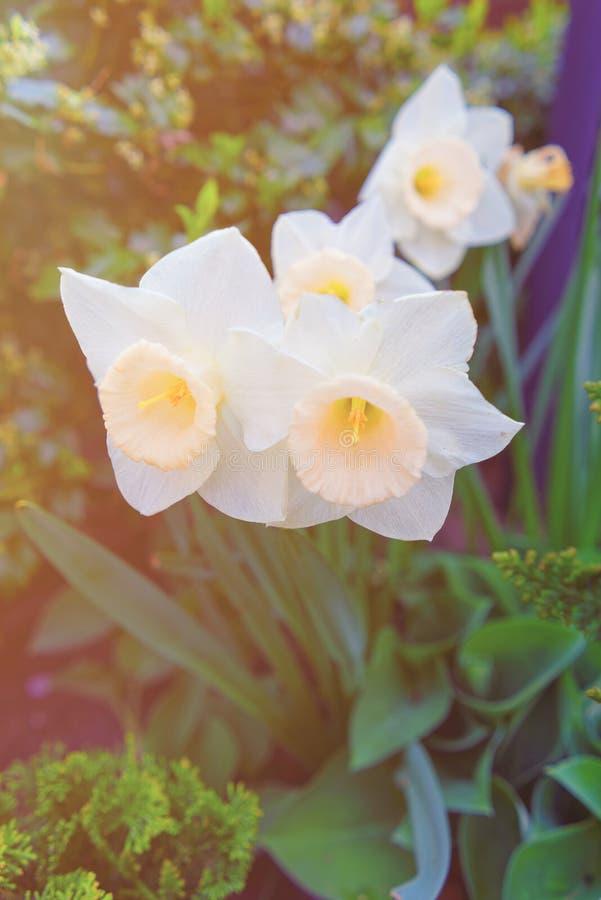 与白色水仙的花床在费城市中心春天 图库摄影