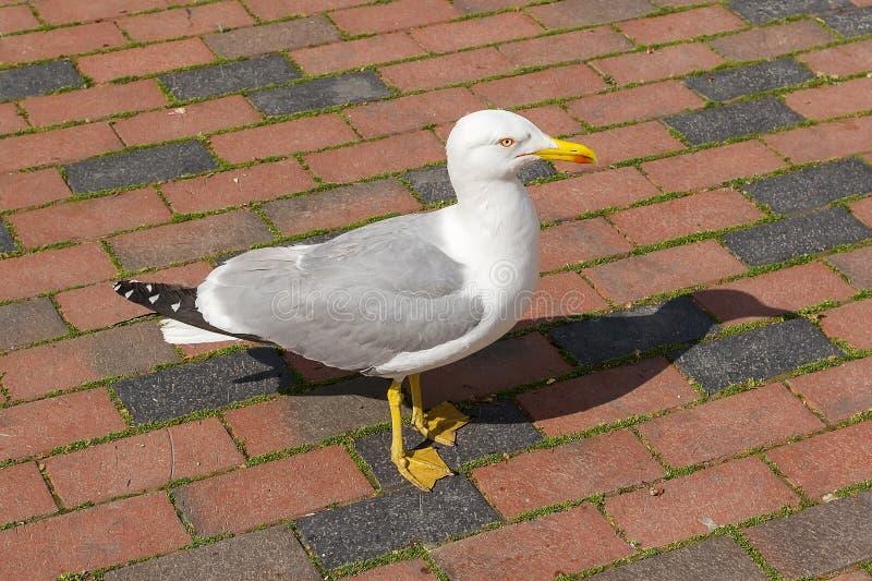 与白色灰色全身羽毛的一只海鸥和在一海滨城市的街道上的黄色额嘴和腿漫步在一好日子 免版税库存照片