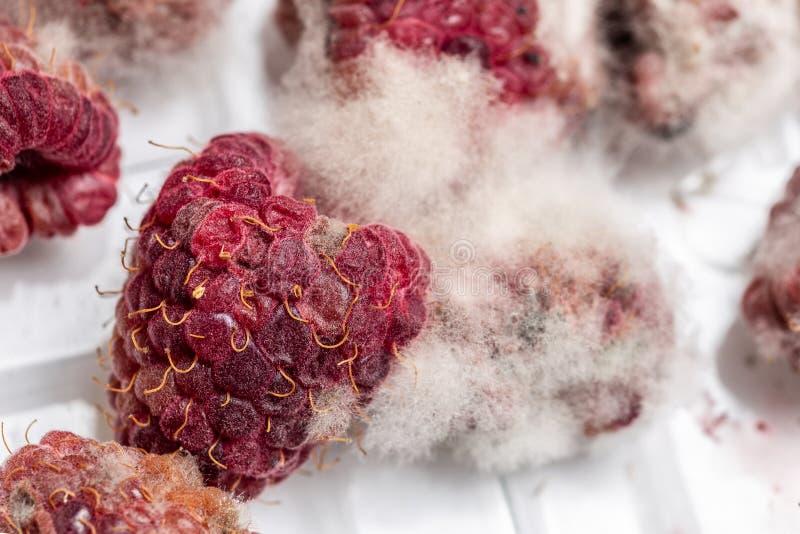 与白色灰色模具的特写镜头成熟红色腐烂的莓对此 在塑料盒的被损坏的莓果 宏指令 免版税库存图片