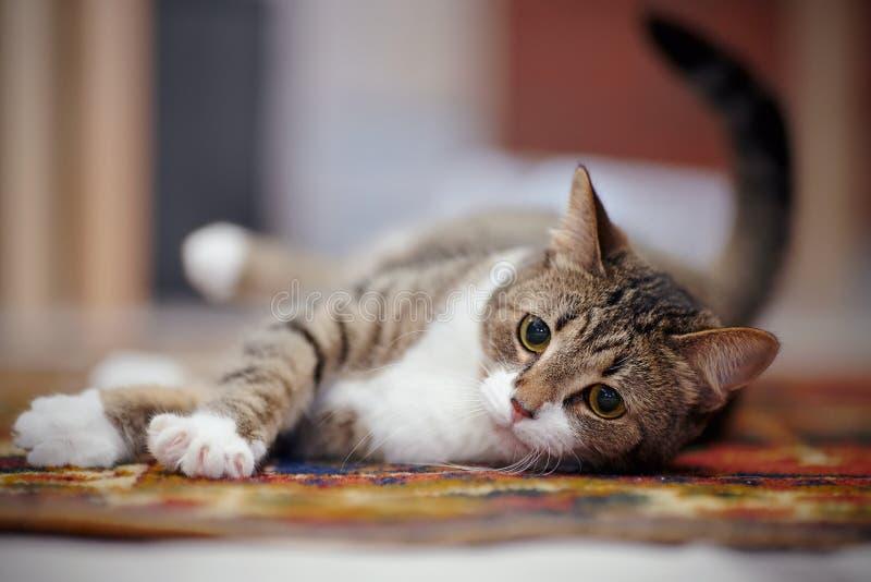 与白色爪子,在地毯的谎言的镶边猫 库存照片