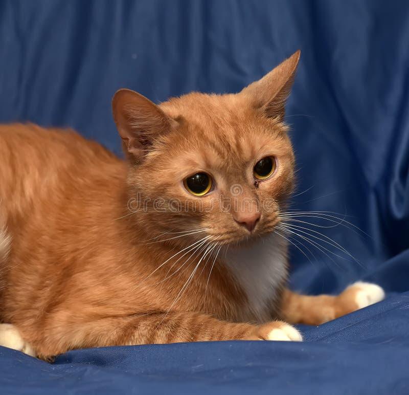 与白色猫的红头发人在蓝色 免版税库存图片
