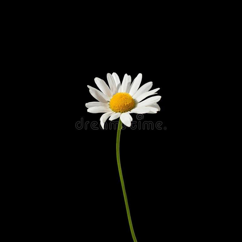 与白色瓣的一朵雏菊花和在一个绿色词根的黄色中心在被隔绝的宏指令的黑背景关闭在正方形 库存图片