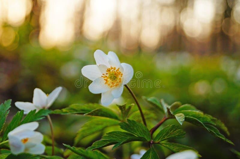 与白色瓣的森林银莲花属 免版税库存照片